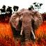 Photo d'un éléphant prise au Parc Kruger en Afrique du Sud, post production spécifique pour un rendu qui renforce le sentiment de danger